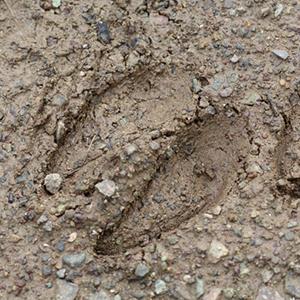 deer tracks 300px