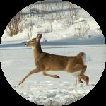 deer300
